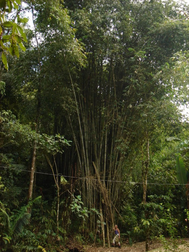 lord flea with a giant timber bamboo, in costa rica