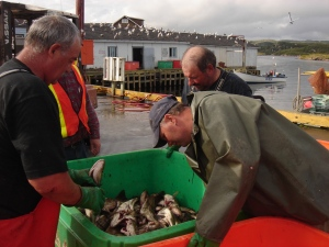 newfie fishermen with their meager cod quota