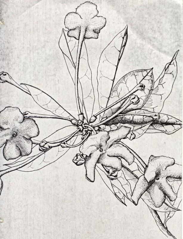 Brunfelsia americana...the near-extinct species