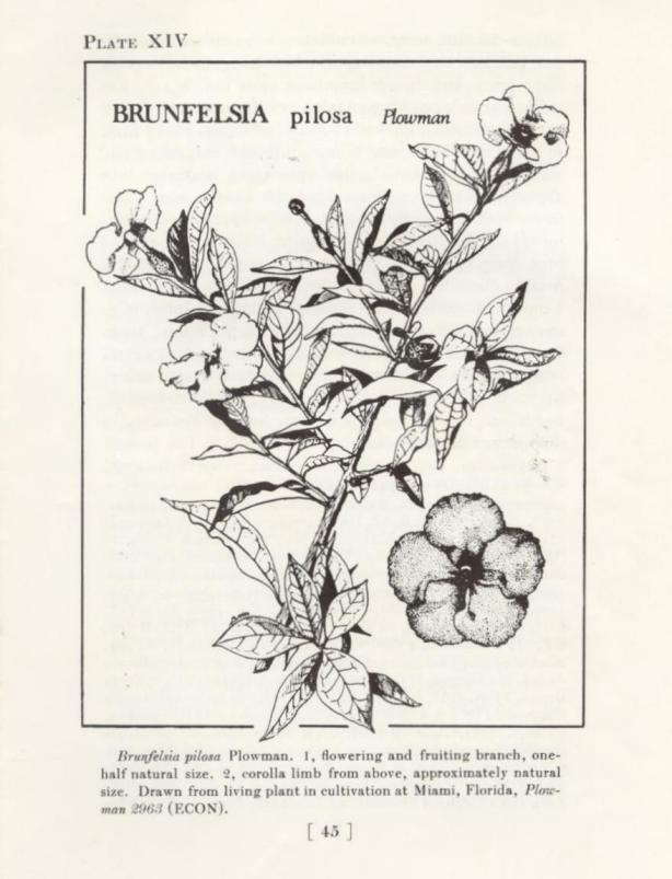 """brunfelsia, """"yesterday, today, and tomorrow"""""""