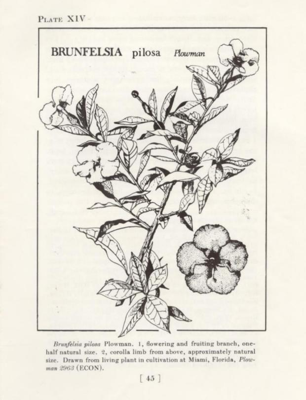 "brunfelsia, ""yesterday, today, and tomorrow"""