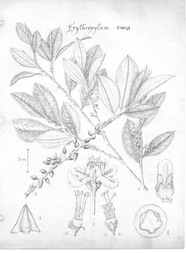 Erythroxylum coca, the bush cocaine comes from