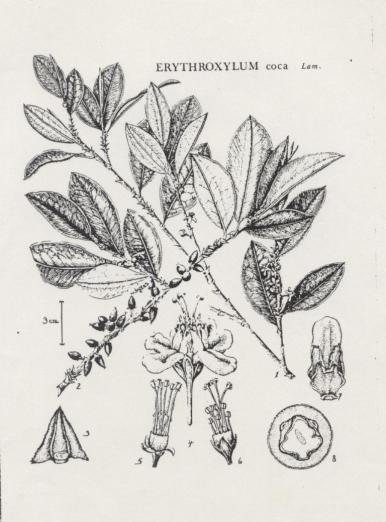 Official botanical illustration of Coca erythroxylum, the plant chewed by the los InKa, historically, and presently. Drawn by yours truly, Lord Flea: teZa Lord (then named Lynda Bates)